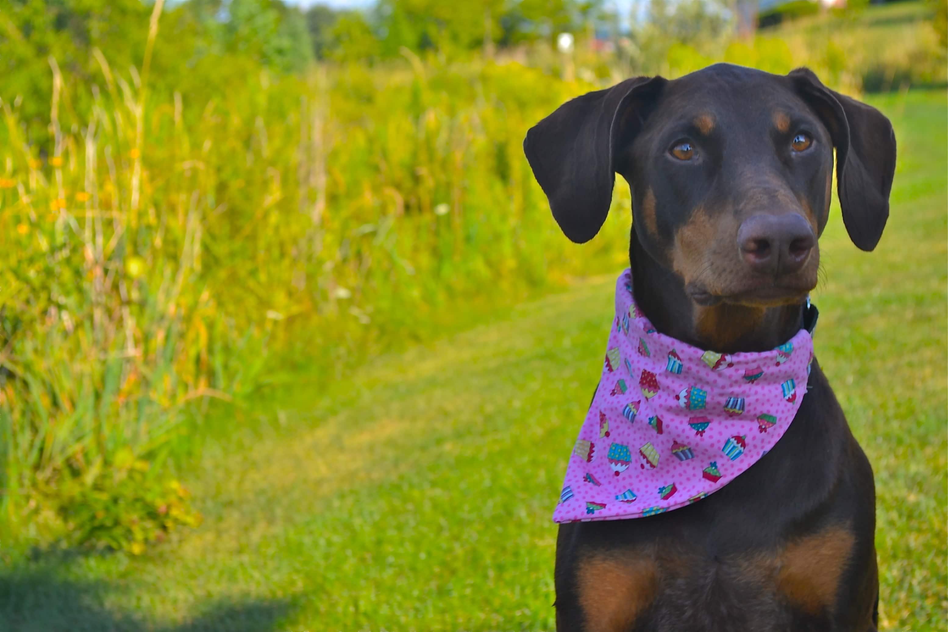 Sneak Peek – Dog Collar Bandana Photo Shoot